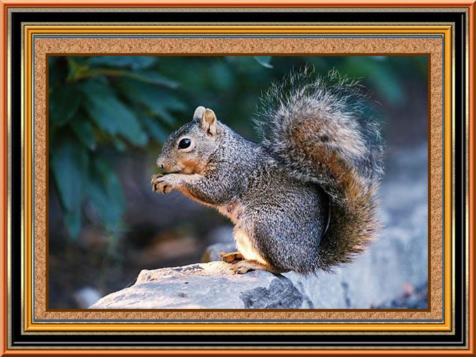 Découverte du sirop dérable Une légende raconte quun petit écureuil grimpa le long dun tronc darbre et mordit une branche...
