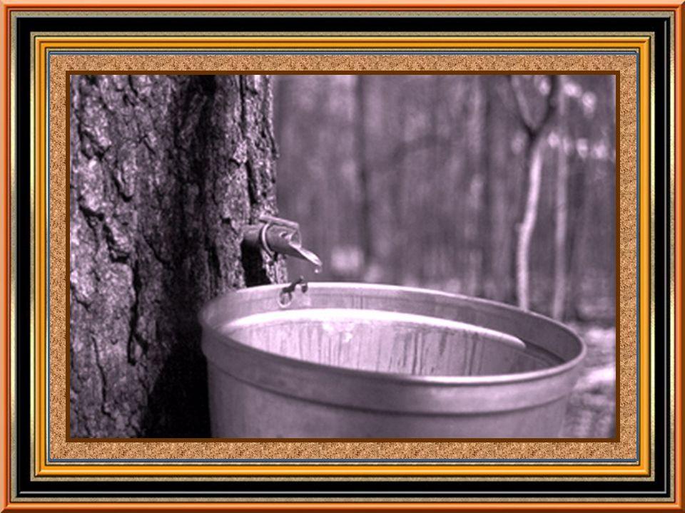 Le frère Marie –Victorin, grand naturaliste et savant québécois, auteur illustre de la Flore laurentienne, affirme carrément que les Amérindiens apprirent de lécureuil roux lexistence du sirop et de la tire dérable.