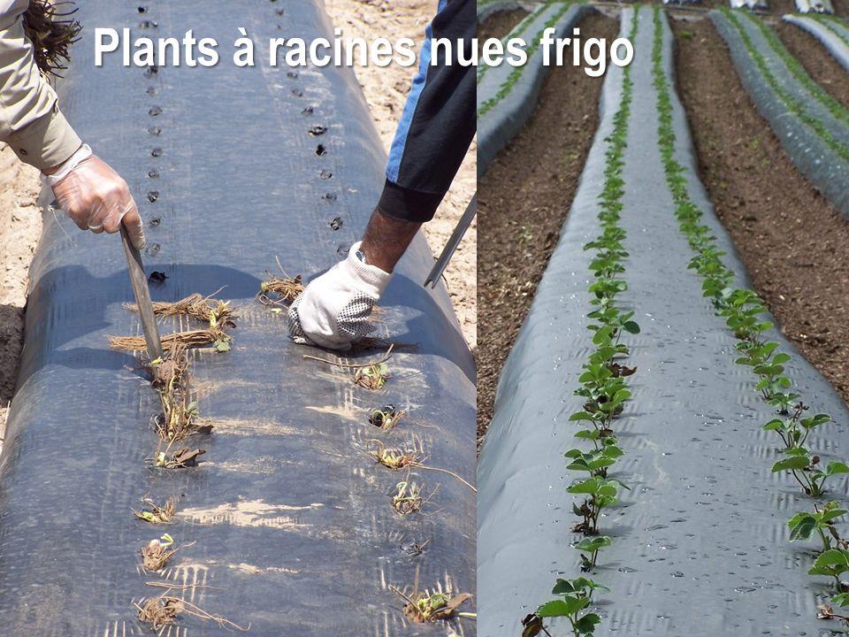 Plants à racines nues frigo