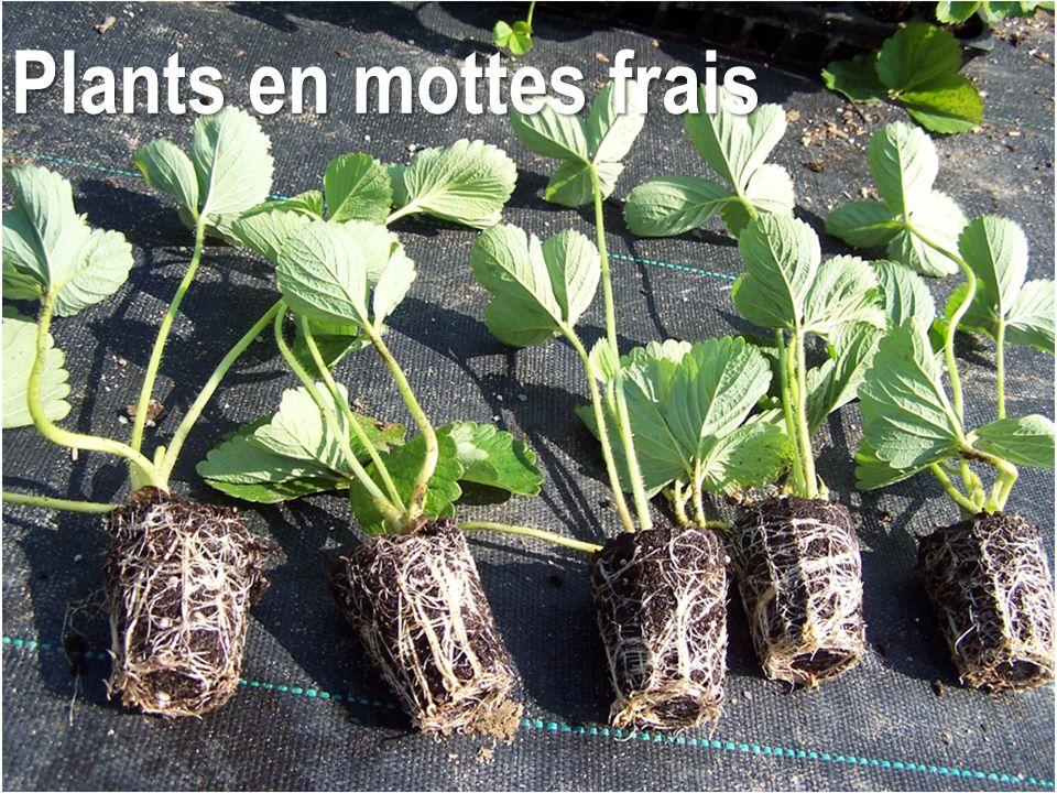 Plants en mottes frais