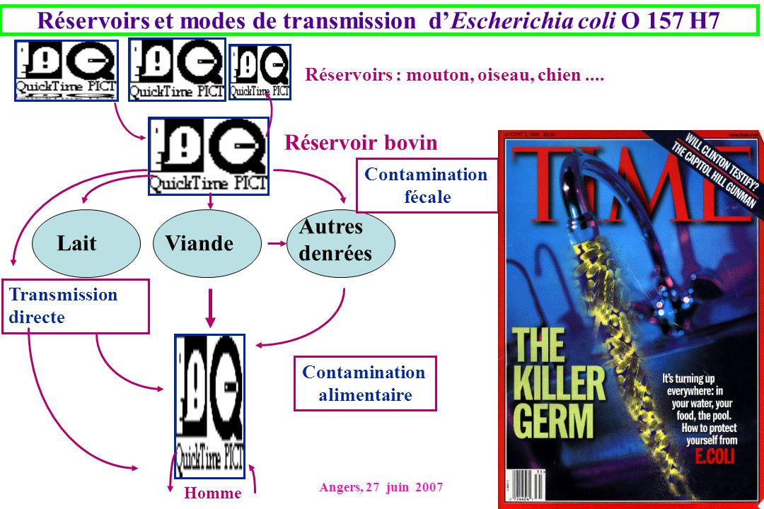 Angers, 27 juin 2007 Réservoirs et modes de transmission dEscherichia coli O 157 H7 Réservoirs : mouton, oiseau, chien.... Réservoir bovin ViandeLait