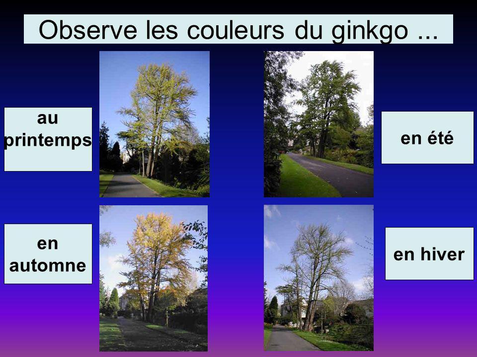 Observe les couleurs du ginkgo... au printemps en automne en été en hiver