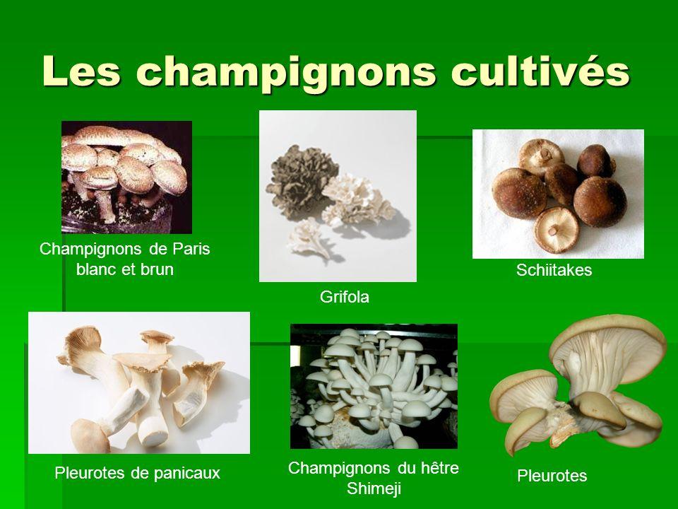 Les champignons cultivés Champignons de Paris blanc et brun Pleurotes Schiitakes Grifola Champignons du hêtre Shimeji Pleurotes de panicaux