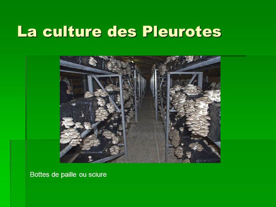La culture des Pleurotes Bottes de paille ou sciure