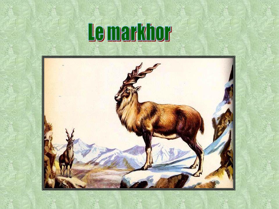 Dans les montagnes de l Asie centrale, surtout sur les hauts plateaux tibétains, vit un bovin de grande taille (2m de hauteur au garrot, 700kgs) : le yack.