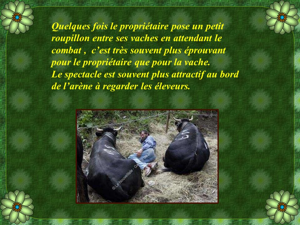 Même si ce sont des vaches combattantes, elles peuvent être très douces et surtout très intelligentes, elles ne feront jamais de mal à un enfant.