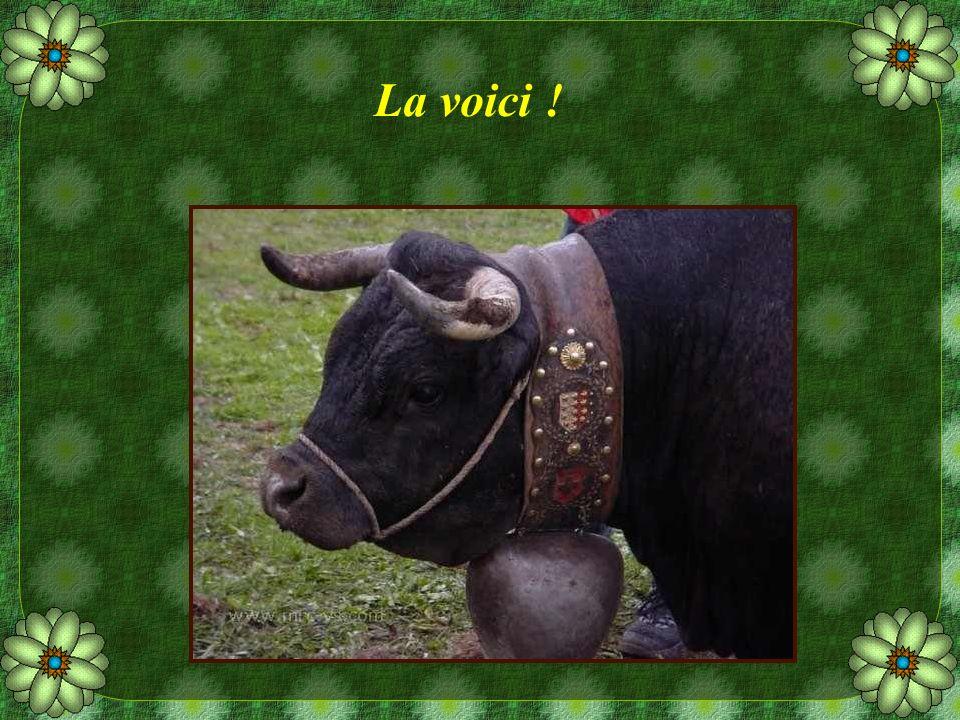 Quelques mots sur cette vache dHérens Les bêtes présentent un corps large et bien musclé.