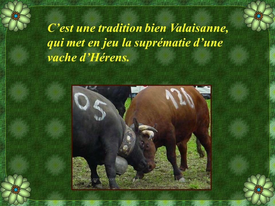 Cest une tradition bien Valaisanne, qui met en jeu la suprématie dune vache dHérens.
