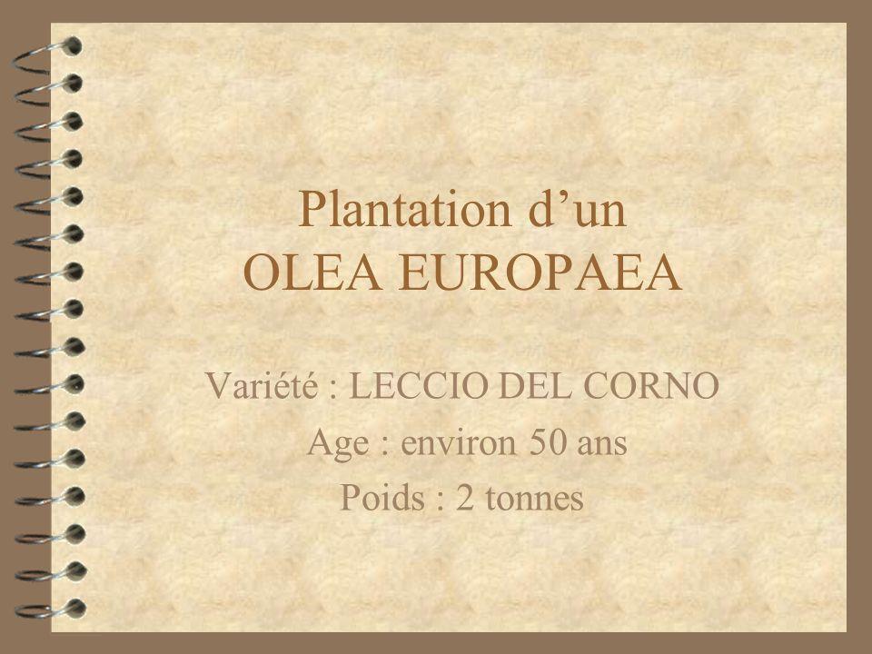 Plantation dun OLEA EUROPAEA Variété : LECCIO DEL CORNO Age : environ 50 ans Poids : 2 tonnes