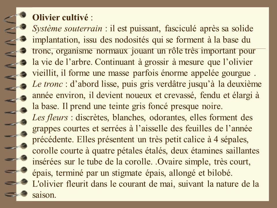 Olivier cultivé : Système souterrain : il est puissant, fasciculé après sa solide implantation, issu des nodosités qui se forment à la base du tronc,