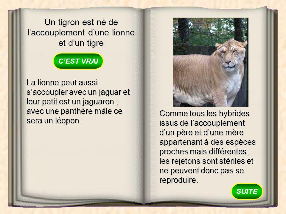Un tigron est né de laccouplement dune lionne et dun tigre VRAI FAUX