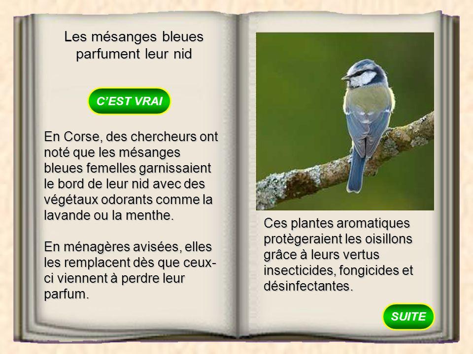 Les mésanges bleues parfument leur nid VRAI FAUX