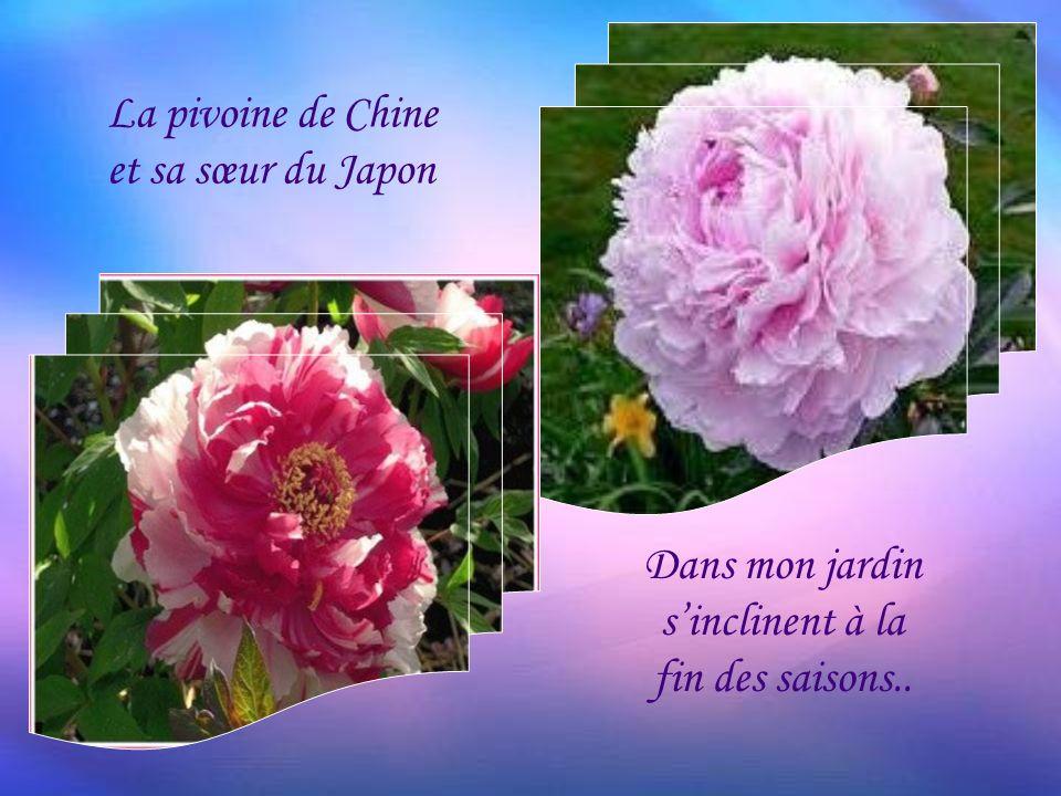 La pivoine de Chine et sa sœur du Japon Dans mon jardin sinclinent à la fin des saisons..