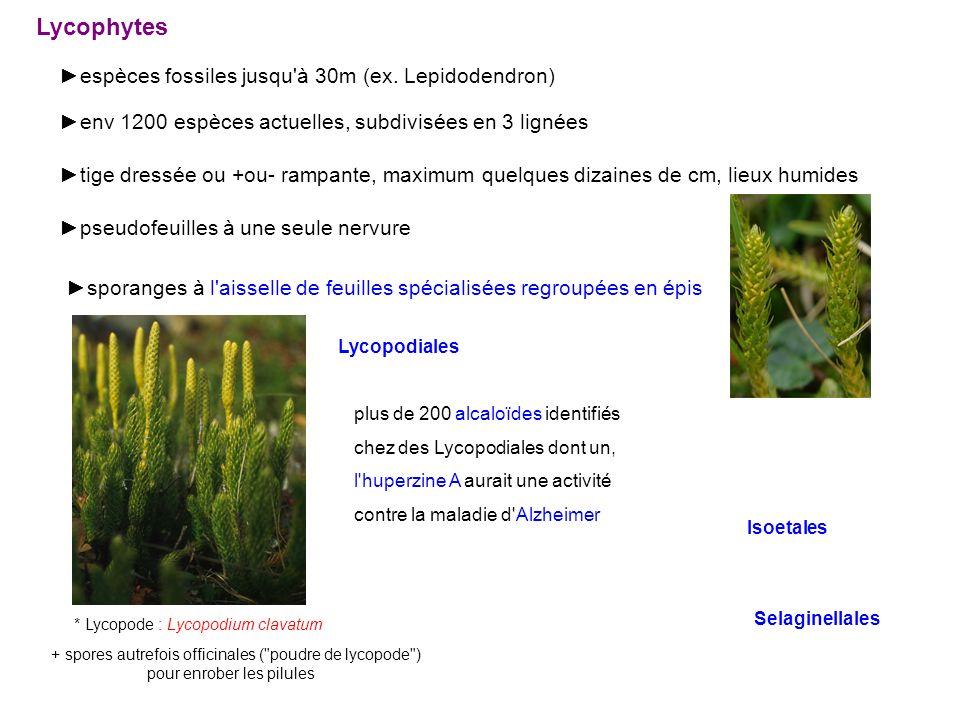 Lycophytes espèces fossiles jusqu à 30m (ex.