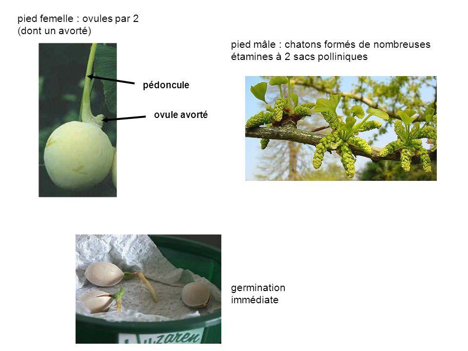 pied mâle : chatons formés de nombreuses étamines à 2 sacs polliniques germination immédiate pied femelle : ovules par 2 (dont un avorté) ovule avorté pédoncule