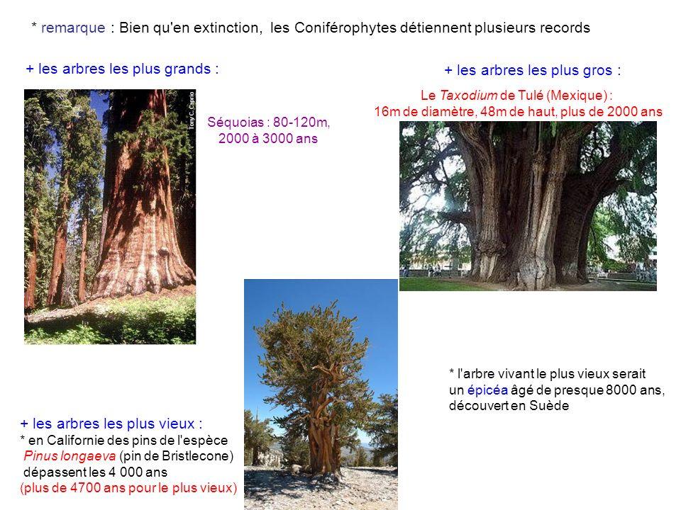 Séquoias : 80-120m, 2000 à 3000 ans + les arbres les plus grands : * remarque : Bien qu en extinction, les Coniférophytes détiennent plusieurs records Le Taxodium de Tulé (Mexique) : 16m de diamètre, 48m de haut, plus de 2000 ans + les arbres les plus gros : + les arbres les plus vieux : * en Californie des pins de l espèce Pinus longaeva (pin de Bristlecone) dépassent les 4 000 ans (plus de 4700 ans pour le plus vieux) * l arbre vivant le plus vieux serait un épicéa âgé de presque 8000 ans, découvert en Suède