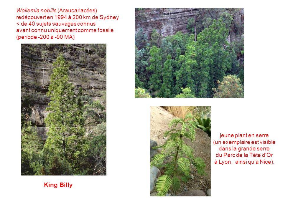 King Billy jeune plant en serre (un exemplaire est visible dans la grande serre du Parc de la Tête d Or à Lyon, ainsi qu à Nice).