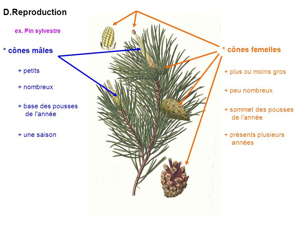 D.Reproduction * cônes mâles + petits + nombreux + base des pousses de l année + une saison * cônes femelles + plus ou moins gros + peu nombreux + sommet des pousses de l année + présents plusieurs années ex.