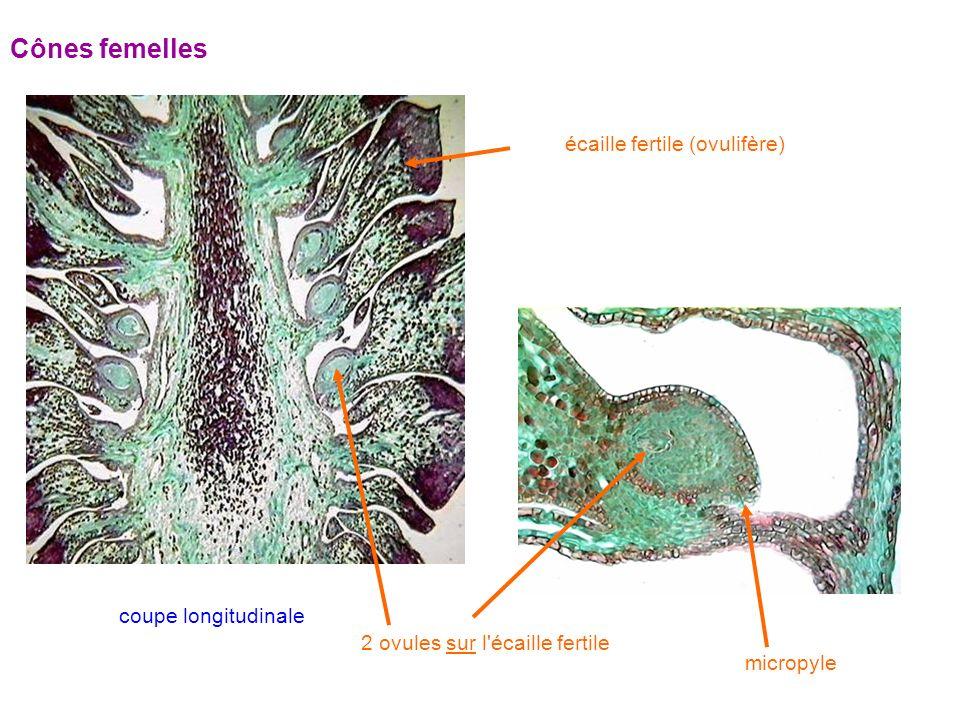 Cônes femelles écaille fertile (ovulifère) 2 ovules sur l écaille fertile micropyle coupe longitudinale