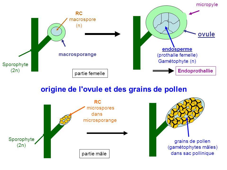 Sporophyte (2n) RC microspores dans microsporange grains de pollen (gamétophytes mâles) dans sac pollinique endosperme (prothalle femelle) Gamétophyte (n) ovule RC macrospore (n) macrosporange Sporophyte (2n) micropyle Endoprothallie partie femelle partie mâle origine de l ovule et des grains de pollen