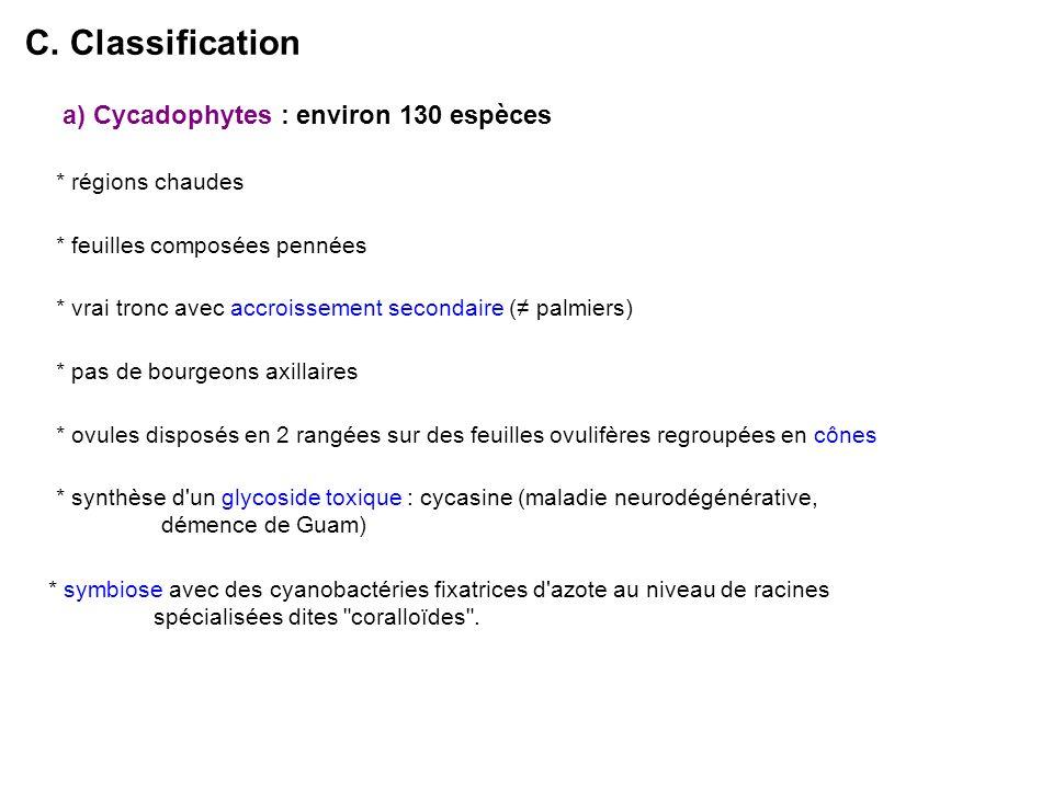 a) Cycadophytes : environ 130 espèces * régions chaudes * ovules disposés en 2 rangées sur des feuilles ovulifères regroupées en cônes C.