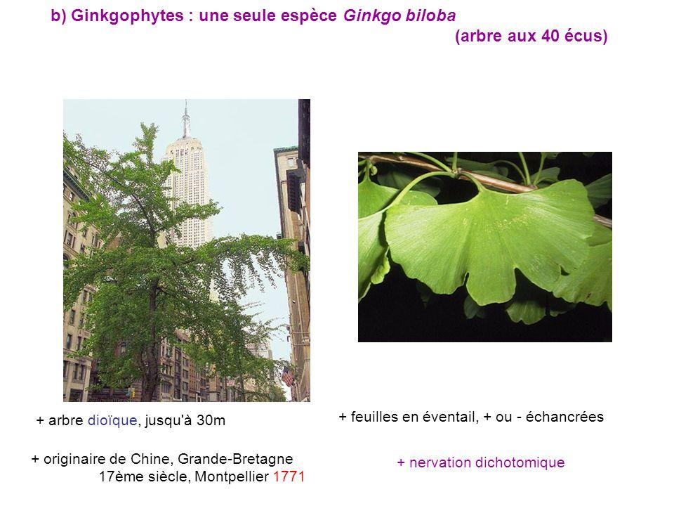 + nervation dichotomique + arbre dioïque, jusqu à 30m + originaire de Chine, Grande-Bretagne 17ème siècle, Montpellier 1771 + feuilles en éventail, + ou - échancrées b) Ginkgophytes : une seule espèce Ginkgo biloba (arbre aux 40 écus)
