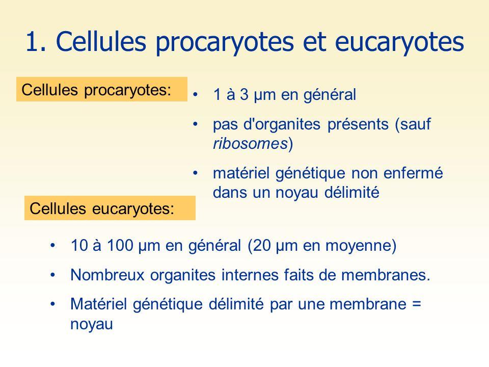 1 à 3 µm en général pas d'organites présents (sauf ribosomes) matériel génétique non enfermé dans un noyau délimité Cellules procaryotes: 1. Cellules