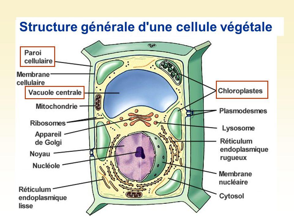 Structure générale d'une cellule végétale