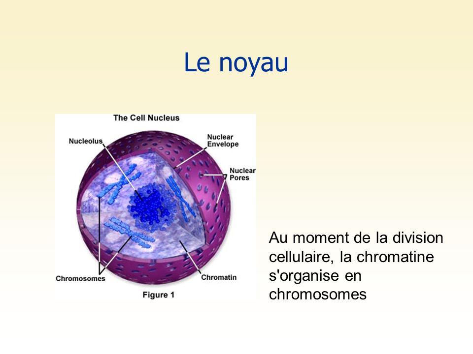 Le noyau Au moment de la division cellulaire, la chromatine s'organise en chromosomes