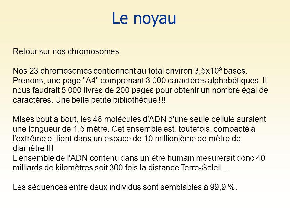 Le noyau Retour sur nos chromosomes Nos 23 chromosomes contiennent au total environ 3,5x10 9 bases. Prenons, une page