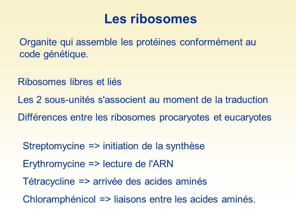 Les ribosomes Ribosomes libres et liés Les 2 sous-unités s'associent au moment de la traduction Différences entre les ribosomes procaryotes et eucaryo