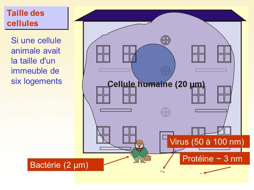 La taille des cellules est limitée par leur rapport surface / volume Si on augmente le diamètre d une cellule: La surface augmente au carré Le volume augmente au cube Plus la taille augmente, plus le volume devient important par rapport à la surface.