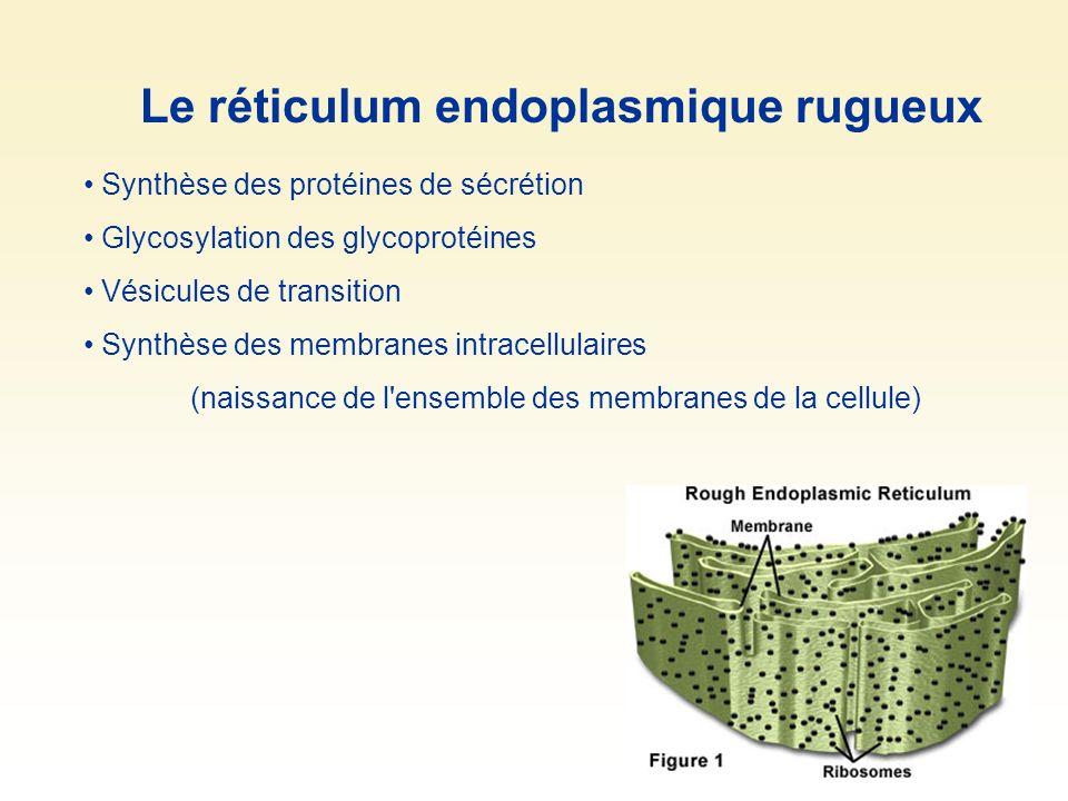 Synthèse des protéines de sécrétion Glycosylation des glycoprotéines Vésicules de transition Synthèse des membranes intracellulaires (naissance de l'e