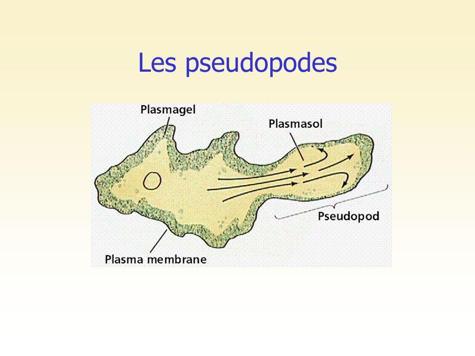 Les pseudopodes