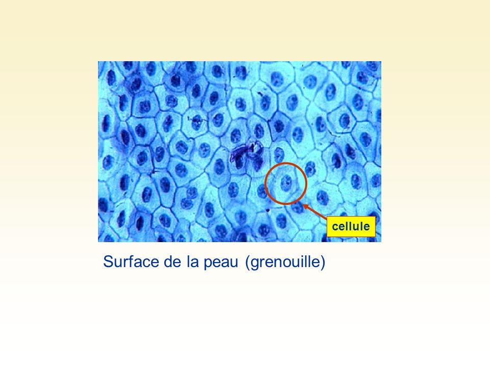 Surface de la peau (grenouille) cellule