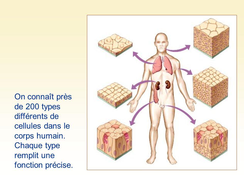 On connaît près de 200 types différents de cellules dans le corps humain. Chaque type remplit une fonction précise.