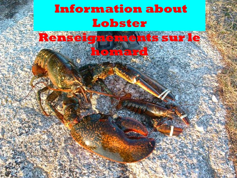 Lobsters, big and small Les homards, grands et petits There are lots of sources of ocean and habitat information relating to lobsters.