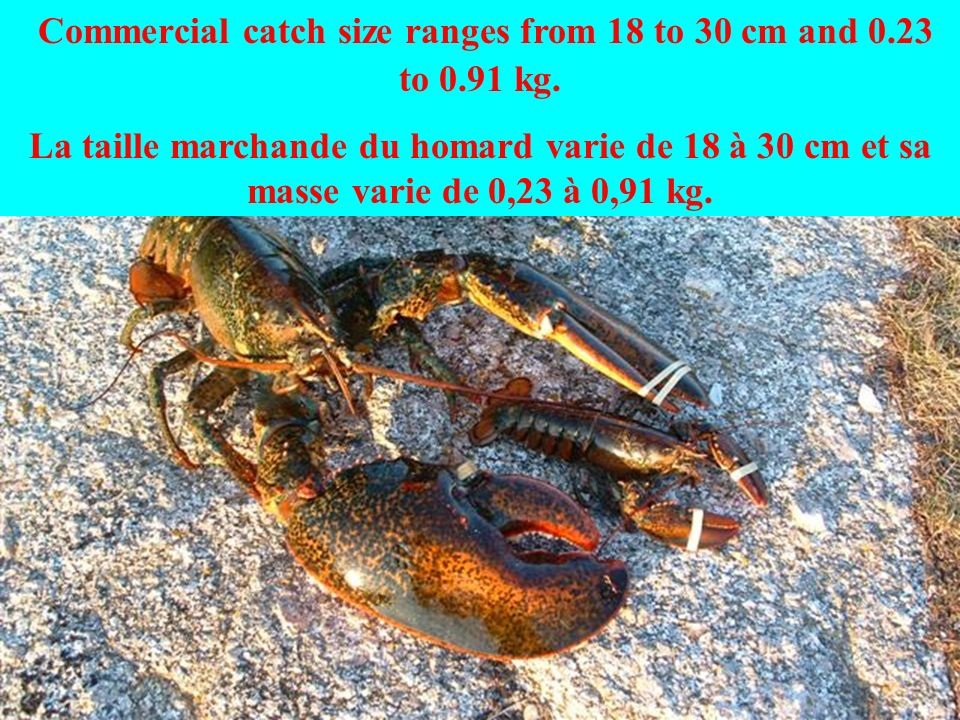 Large lobsters can exceed 20 kg. Un gros homard peut peser plus de 20 kg.