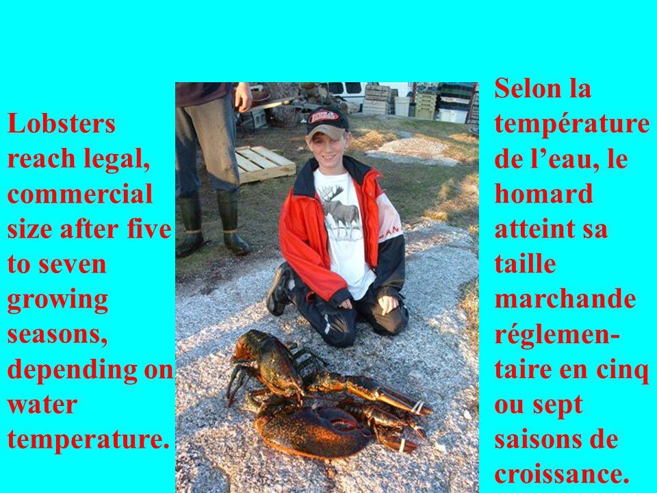 Lobsters reach legal, commercial size after five to seven growing seasons, depending on water temperature. Selon la température de leau, le homard att