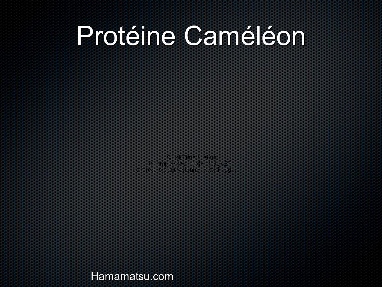 Protéine Caméléon Hamamatsu.com