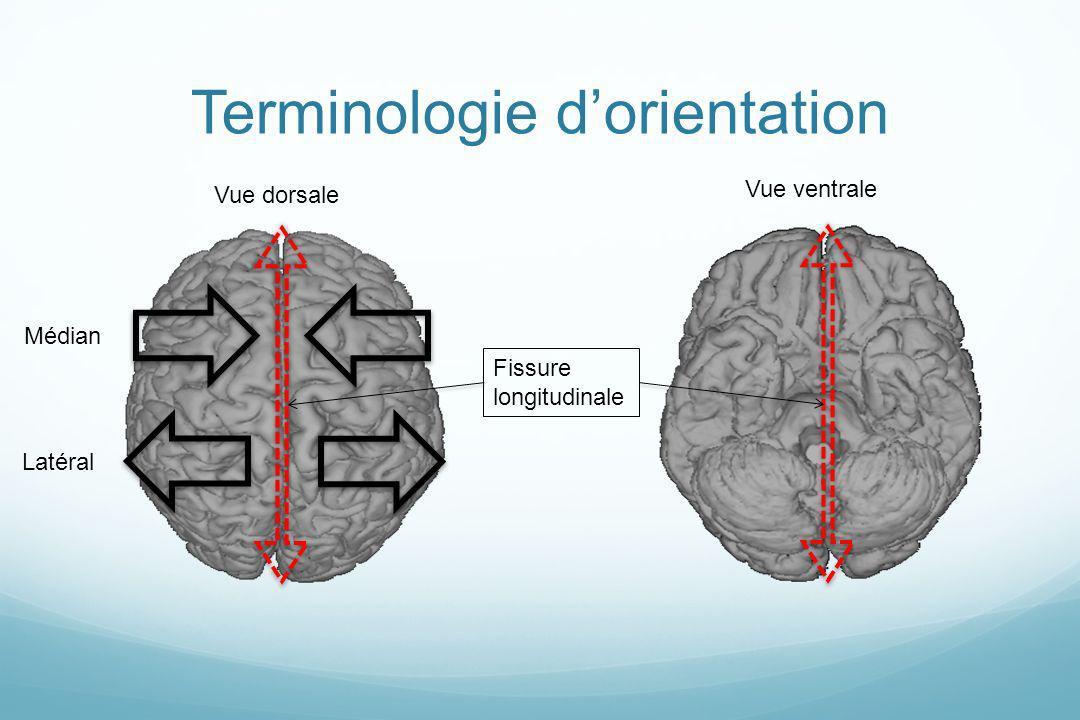 Vue dorsale Vue ventrale Fissure longitudinale Médian Latéral Terminologie dorientation