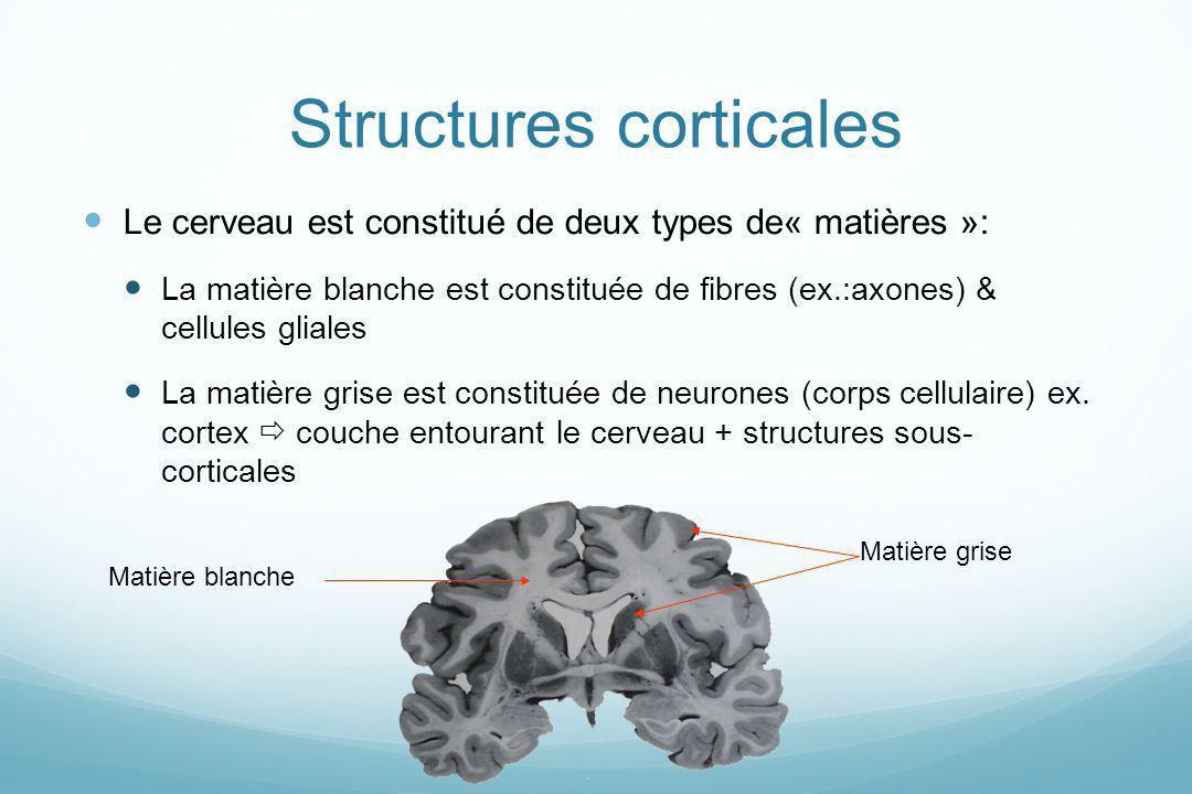 Structures corticales Le cerveau est constitué de deux types de« matières »: La matière blanche est constituée de fibres (ex.:axones) & cellules glial