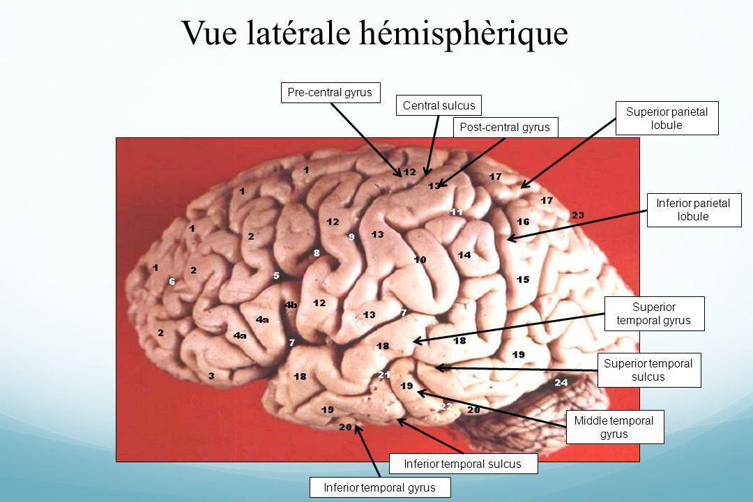 Vue latérale hémisphèrique Superior parietal lobule Central sulcusPost-central gyrusPre-central gyrusSuperior temporal gyrus Middle temporal gyrus Inf