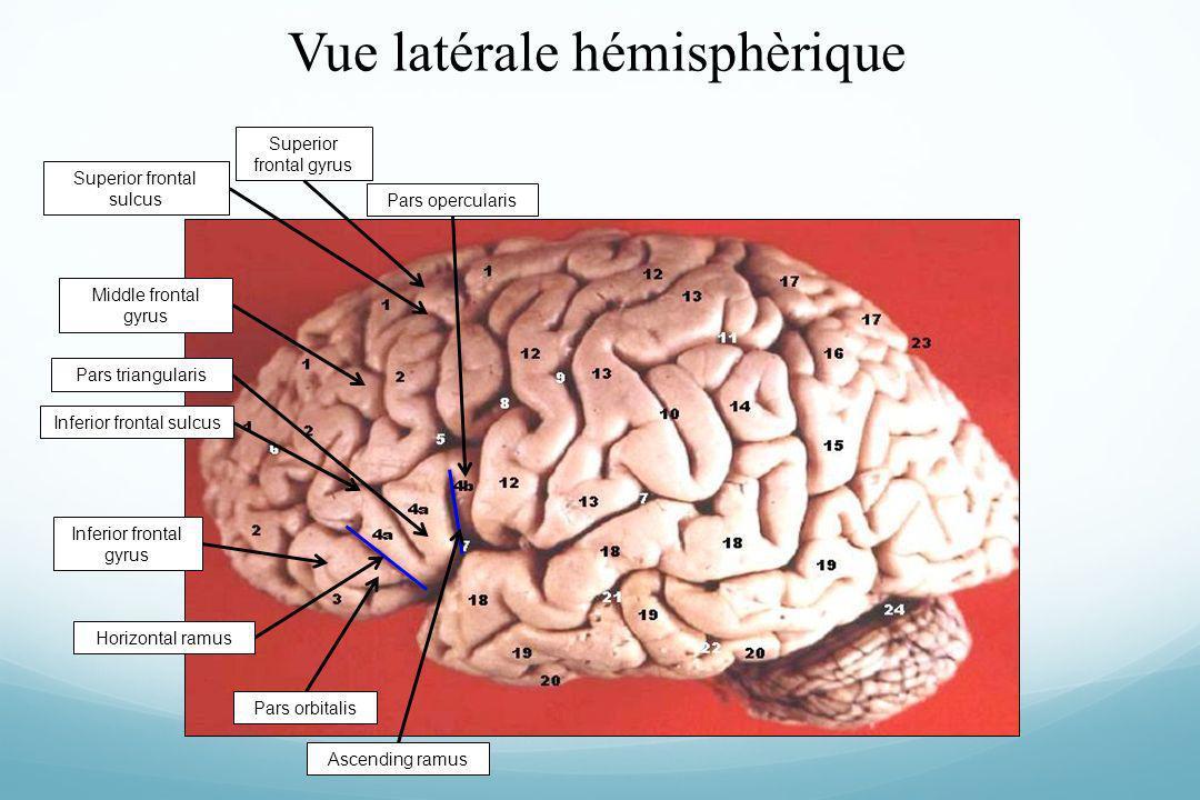 Vue latérale hémisphèrique Superior frontal gyrus Middle frontal gyrus Inferior frontal gyrus Superior frontal sulcus Inferior frontal sulcus Ascendin