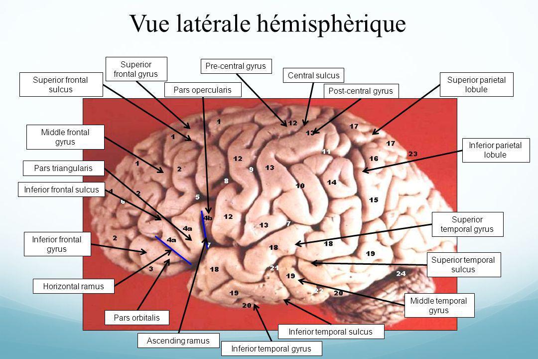 Vue latérale hémisphèrique Superior parietal lobule Central sulcusPost-central gyrusPre-central gyrusSuperior frontal gyrus Middle frontal gyrus Infer