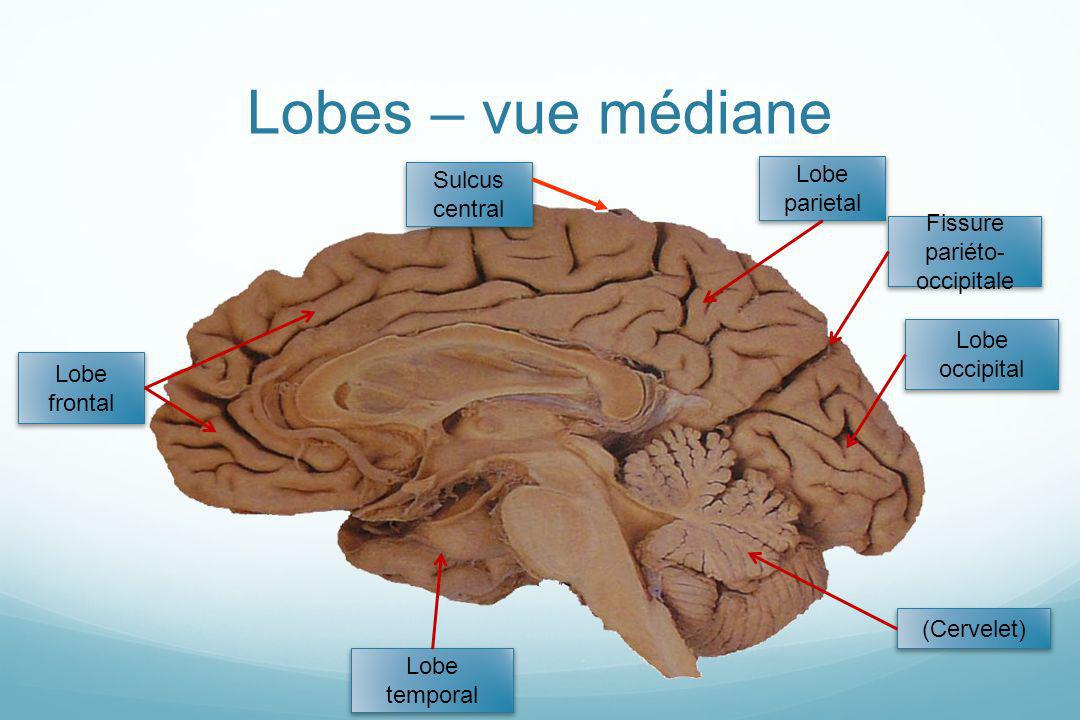 Lobes – vue médiane (Cervelet) Lobe occipital Lobe parietal Lobe temporal Lobe frontal Sulcus central Fissure pariéto- occipitale