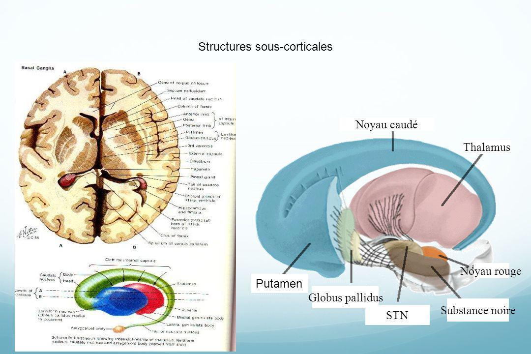 Globus pallidus Substance noire Thalamus Noyau caudé Noyau rouge Putamen STN Structures sous-corticales