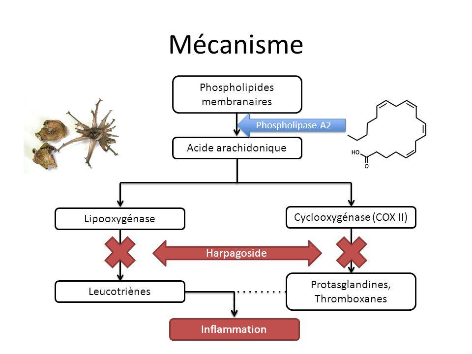 Mécanisme Phospholipides membranaires Acide arachidonique Lipooxygénase Cyclooxygénase (COX II) Protasglandines, Thromboxanes Leucotriènes Inflammation Harpagoside Phospholipase A2
