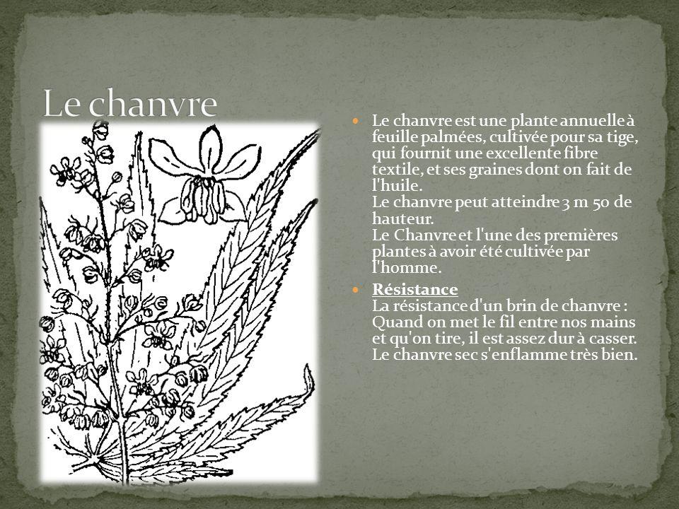 Le chanvre est une plante annuelle à feuille palmées, cultivée pour sa tige, qui fournit une excellente fibre textile, et ses graines dont on fait de