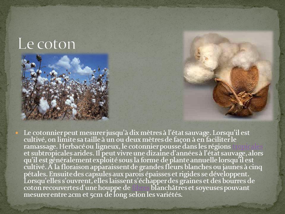 Le cotonnier peut mesurer jusqu'à dix mètres à l'état sauvage. Lorsqu'il est cultivé, on limite sa taille à un ou deux mètres de façon à en faciliter